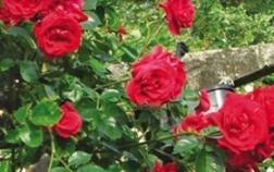 Роза «Дик Дик»